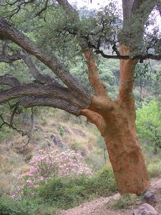 During cork harvest, the cork oak tree remains standing while large sections of its outer bark--the cork itself--are cut and peeled from the tree. Cork oak is unique in its ability to regenerate its outer bark. Cork oak is found through southwestern Europe and into northwestern Africa in Portugal, Spain, France, Italy, Algeria, Morocco and Tunisia.
