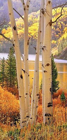 Aspens on Cataract Lake Silverthorne, CO. Rocky Mountains