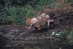Wolf, common