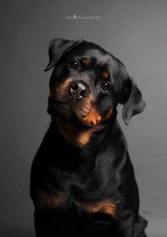 Top 10 Most Expensive Dog Breeds Rottweilers are as multi-talented as they are robust and powerful. The intelligent, patient breed often works as a police dog, herder, service dog, therapy dog, or obedience competitor. But Rottweilers are also protective and self-confident, making them excellent companions.