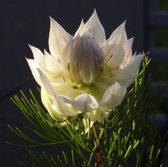 from the protea family.for something architectural at the same time soft Botanical Flowers, Exotic Flowers, Amazing Flowers, White Flowers, Beautiful Flowers, Australian Wildflowers, Protea Flower, Green Life, Sugar Flowers