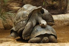 Tortoise Had So Much Sex On The Galapagos He's Been Credited With Singlehandedly Saving His Species Every dude dreams of the hypothetical where the entire… Endangered Reptiles, Trick Pictures, Save Wildlife, Zoo Keeper, Star Wars, Romantic Gestures, Wildlife Conservation, Animals Of The World, Animal Pictures