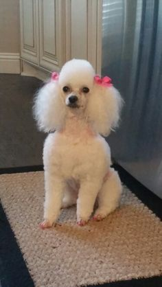 My beautiful poodle Ms. Glory