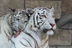 I Love My Mom | White Tigers