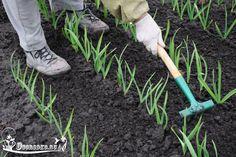 Если чеснок пожелтел, листья поникли, подкормите растение. Какие удобрения лучше использовать, органические или минеральные, как разводить и когда удобрять читайте далее...