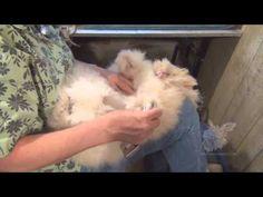 Grooming English Angora Rabbits