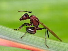 Winged ant by Rundstedt B. Rovillos