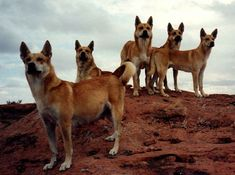 """The Carolina Dog is a true """"primitive"""" dog breed also known as the American Dingo. Learn more about this incredible breed with wild roots! Animals Beautiful, Cute Animals, Wild Animals, Beautiful Creatures, Dingo Dog, American Dog, Animal Society, Dog Information, Australian Animals"""