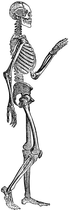 skeleton side view - Google Search