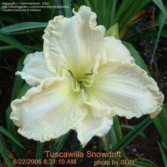 'Tuscawilla Snowdrift' (Hansen, 2000)  scape height: 24 inches bloom size: 6.75 inches bloom season: Midseason-Late, Rebloom ploidy: Diploid foliage type: Evergreen fragrance: Fragrant bloom habit: Nocturnal bud count: 12 branches: 2 seedling #: PRMICHUK  Color: near white self above light green throat  Parentage: (Prince Michael × unknown)