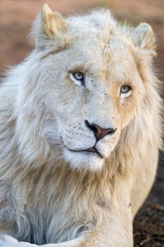 I like how this young male white lion looks like, even if he looks melancholic. Beautiful Creatures, Animals Beautiful, Cute Animals, Wild Animals, Baby Animals, Lion Photography, Bear Cubs, Grizzly Bears, Tiger Cubs