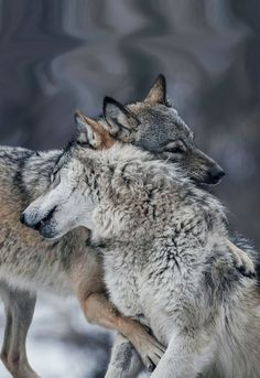 Loup 🐺🐺🐺, See the Best animal pictures from AnyCanal , These are the b. Wolf Photos, Wolf Pictures, Animal Pictures, Pictures Images, Beautiful Wolves, Animals Beautiful, Wolves In Love, Beautiful Beautiful, Baby Animals