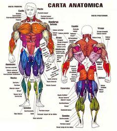 Tu gimnasio en la red: Los músculos del cuerpo humano