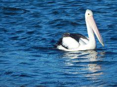Pelican on the Richmond River Ballina