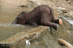 Know comparison difference and similarity between Asian Elephant vs African Elephant. Go further compare Asian Elephant vs African Elephant fight who will win Elephants Photos, Save The Elephants, Baby Animals Pictures, Cute Animal Pictures, Baby Elephant Pictures, Pictures Images, Cute Little Animals, Cute Funny Animals, Elephant Photography