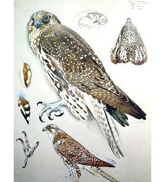 BLOG_j_OAKLEY_bird_sketch5_Tunnicliffe