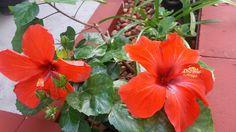 Hibisco  #jardinagemcomoterapia