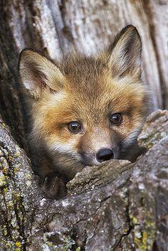 Peek a Boo Baby Fox