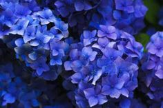 Hydrangea flowers: one of the most beautiful perennial flowers to have in a garden. They are easy to grow and beautiful colors for cutting and drying. The post <span>landscaping (perennial flowers) –    </span>Hydrangea appeared first on Photo Remodeling Analysis. Hydrangea Wallpaper, Blue Flower Wallpaper, Flower Artwork, Hydrangea Bloom, Hydrangea Flower, Blue Flowers, Flora Flowers, Flowers Garden, Flower Images
