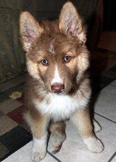 Thor, my half Siberian husky-half German Shepard puppy at 4 months