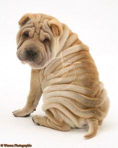 Shar pei wrinkles!  This looks just like my Goldie-woldie!!