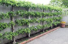 Fruit trees don't need to take up a lot of space. Espalier fruit trees make an attractive backdrop and can lend a formal air to the garden.