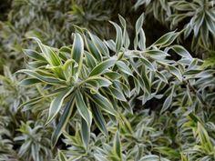 Pau d'água – dracena-de-venus como fazer o plantio em vasos