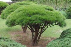 Sosna gęstokwiatowa umbraculifera 40-60cm C2