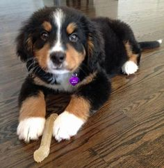 Kona the Bernese Mountain Dog Pictures 898014