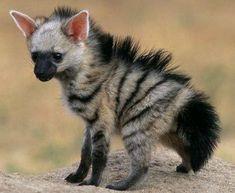 Erdwolf: Eine Mischung zwischen Hyäne und Erdferkel