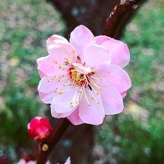 Sakura season is starting in Osaka      #osaka #japan #sakura #cherryblossom #spring  #gay  #flower #nature #pink  #blossom #cherry #hanami #花見 #花 #さくら #桜 #サクラ #cherryblossoms #flowers #flowerslovers #floweroftheday #flowerstagram #flowergram #flowerporn  #bokeh #macro #photography #macrophotography