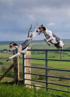 Hounds Jumping Fence