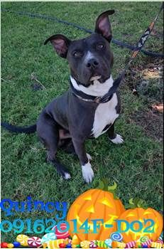 ***SUPER SUPER URGENT!!!*** - PLEASE SAVE QUINCY!! - EU DATE: 10/15/2015 -- Quincy (09162015f-D02) Breed:Pit Bull Terrier (mix breed) Age: Adult Gender: Male Size: Medium Special needs: hasShots, Shelter Information: Delano Animal Shelter 1525 Mettler Avenue  Delano, CA Shelter dog ID: 09162015f-d02 Contacts: Phone: 661-721-3377 Name: Delano Animal Control email: SHELTER661@GMAIL.COM  Read more at http://www.dogsindanger.com/dog/1442431767039#YSad6x7MkgKzbIWE.99