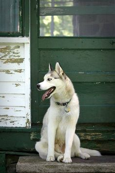 Pretty Siberian Husky. Love this picture.