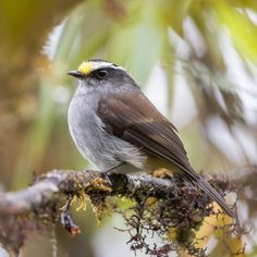 4267. Crowned Chat-tyrant (Ochthoeca frontalis) | Bolivia, Colombia, Ecuador, Peru