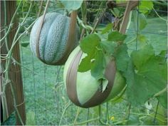 Melons on a trellis with panty hose slings