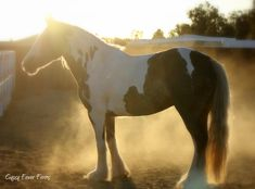 Gypsy Vanner Mare - Majestic's Lady Guinevere aka 'Gigi' owned by Gypsy Fever Farms