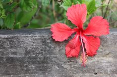Hibiscus Flowers by Charissa Lotter (de Scande) by Charissa Lotter (de Scande) on 500px