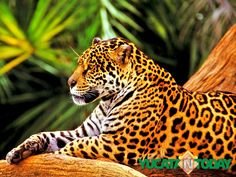 Discover the Power of the Jaguar   Yucatan Today