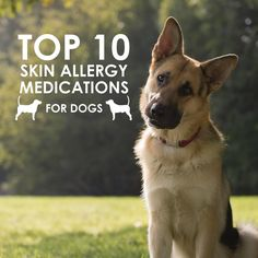 Find out which skin allergy medication can help your dog stop itching. Ten skin allergy medications that will help your dog stay itch free.  http://www.allivet.com/blog/top-10-skin-allergy-medications-for-dogs/