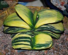Photo of Gasteria (Gasteria nitida var. armstrongii)