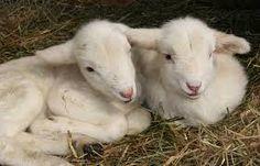east friesian sheep - Google Search