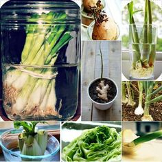 Alternative Gardning: Growing plants from kitchen scraps