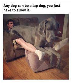 lap dog funny memes