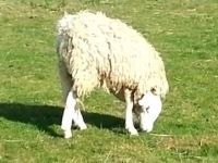 Bizarre-looking sheep with an upside-down head sparks debate (video). Keep your head on straight. http://oyea2.com