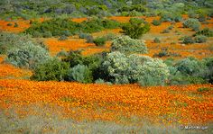 The wild flowers of Kamieskroon, Namaqualand, Northern Cape World Pictures, Pictures Images, Beauty Planet, Western Coast, All Nature, Beautiful Places In The World, Travel Bugs, View Image, Wild Flowers