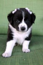 Chelsea is an adoptable Bearded Collie Dog in Cadet, MO. Meet Chelsea, she is a 7 week old Border Collie/Australian Shepard mix. Her mom was a Border Collie/Australian Shepard mix as well and she was ...