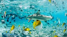Bora Bora Scuba Diving   Snorkelling   Four Seasons Resort Bora Bora Don snorkels and flippers, slip into the water, and watch (from a safe distance) as Tahitian divers hand-feed black-tip reef sharks and bat rays. It's a thrilling experience for couples, groups, families and guests of all ages.