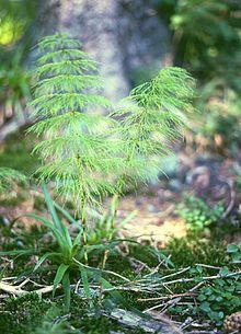 Metsäkorte – Wikipedia
