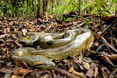 Ignore the Anaconda (Eunectes murinus), I'm looking at the leaf litter! Anaconda Verde, Reptiles And Amphibians, Mammals, Eunectes Murinus, Kinds Of Snakes, Snake In The Grass, American Green, Colorful Snakes, Super Snake